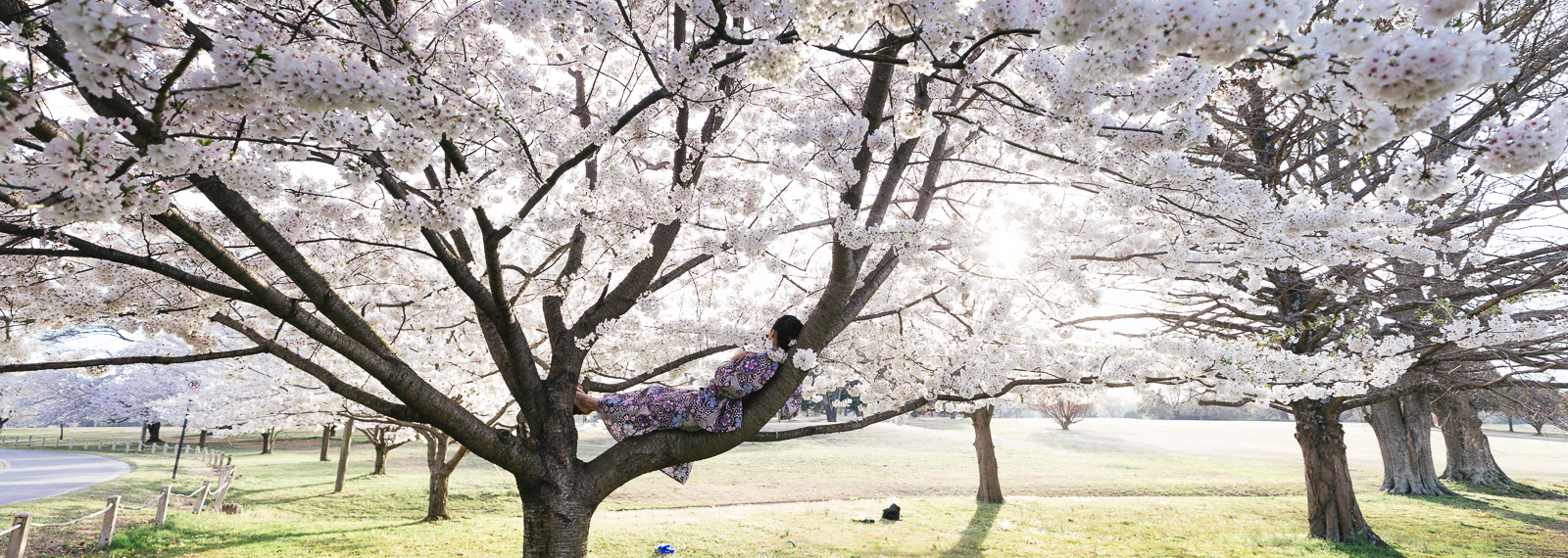 Iori Araya enjoys the cherry blossom trees outside of the Memphis Botanic Garden. (Ziggy Mack) <span class=&apos;image-credits&apos;></span>