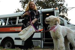 Office manager Judith Currin drops a client off at home after a busy day at daycare. A ride in the custom bus is a favorite activity for the dogs. (Patrick Lantrip/Daily Memphian)