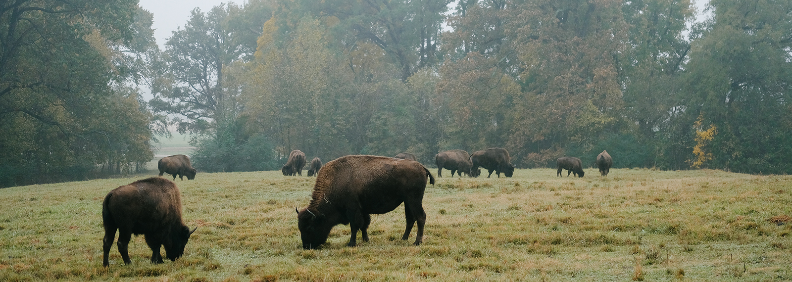 Grazing bison on a foggy morning at Shelby Farms Park. (Brandon Dahlberg)