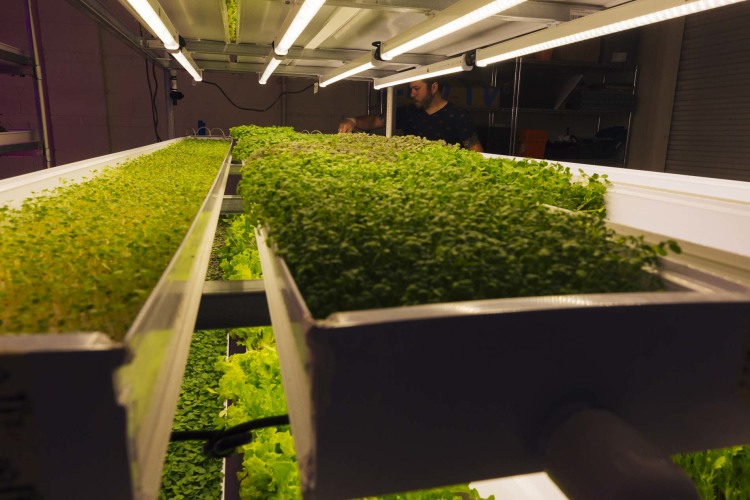 Rob Coleman of Green Girl Produce tends to microgreens. (Ziggy Mack)