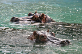 Splish and Binti, the Memphis Zoo's two female hippos