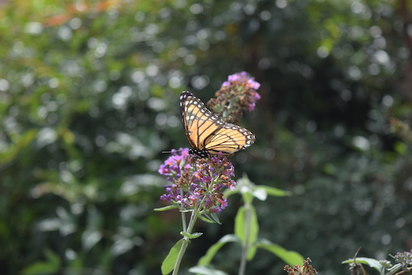 Monarch butterflies pause in Harbor Town on their yearly migration to Mexico.